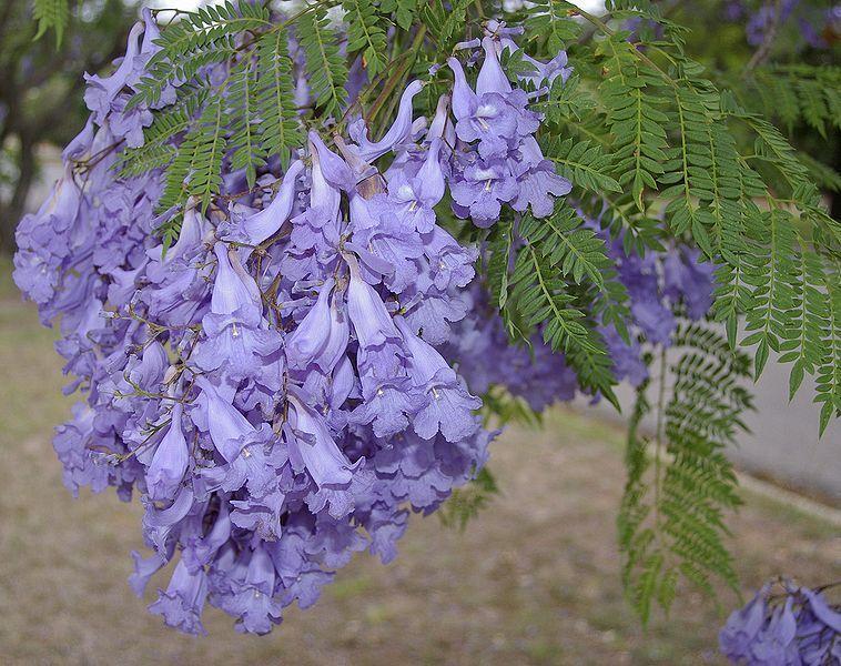 Jacaranda Mimosifolia (Black Poui Tree) Seeds