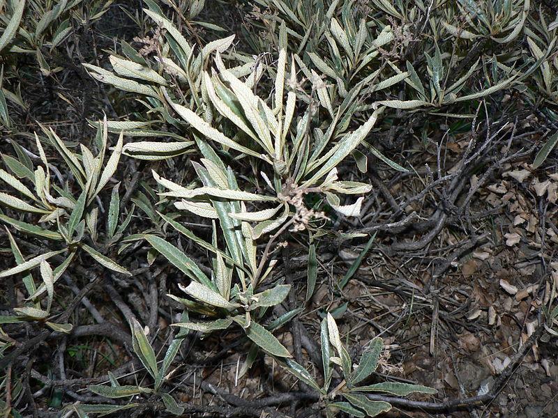 Eriodictyon Californicum (Yerba Santa) Seeds