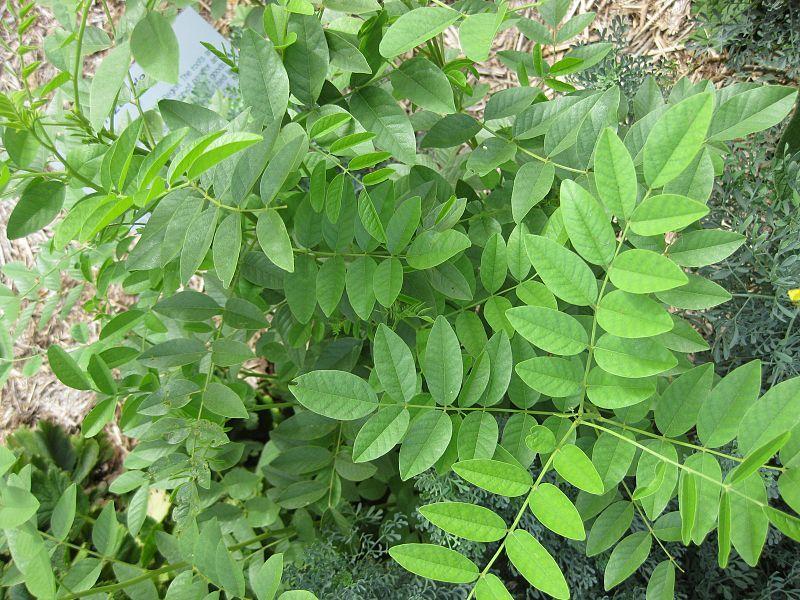 Glycyrrhiza Galabra (Licorice) Seeds