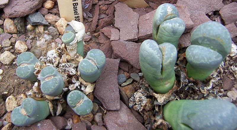 Lithops Meyeri Seeds