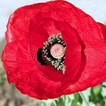 Papaver Glaucum (Turkish Tulip Poppy) Seeds