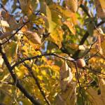 Diospyros Virginiana (AMERICAN PERSIMMON TREE) Seeds