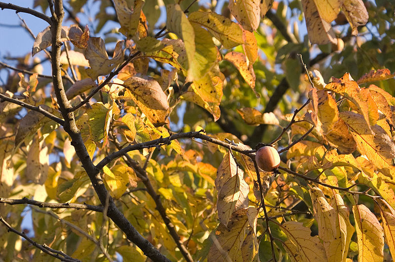 Diospyros Virginiana (AMERICAN PERSIMMON TREE) Seeds