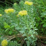 Rhodiola Rosea (Golden Root) Seeds