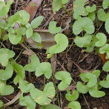 Centella Asiatica (GOTU KOLA) Seeds
