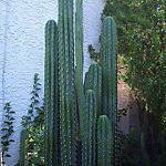 Trichocereus Peruvianus ?Koehres? (Peruvian Torch Cactus) Seeds