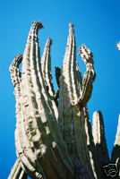Pachycereus Pringlei (Cardon Grande) Seeds