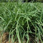 Allium Tuberosum (CHINESE LEEK / GARLIC CHIVES) Seeds