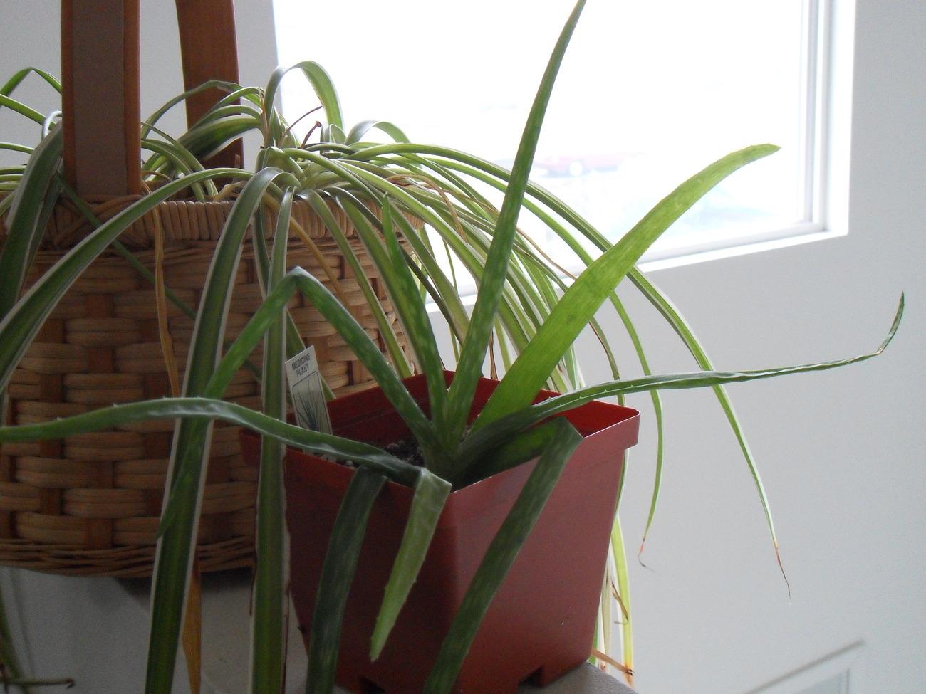 Aloe Mix Seeds Seeds