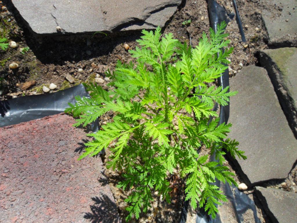 Artemisia Annua  (SAGEWORT) Seeds