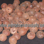 Areca Catechu (Betel Nut) Whole Grade A Nuts