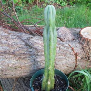 Trichocereus Bridgesii (Achuma Cactus / Bolivian Torch) Seeds