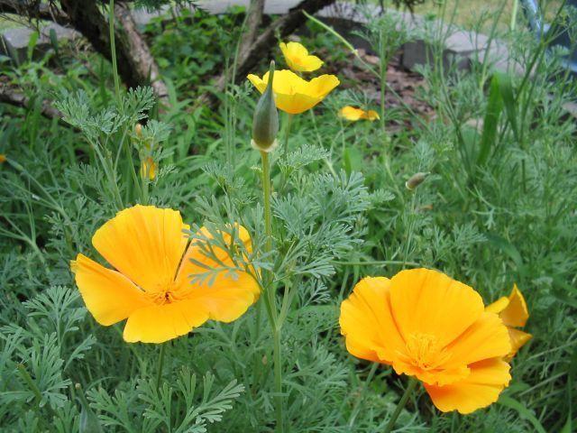 Eschscholzia Californica (California Poppy) Seeds