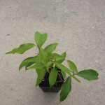 "Banisteriopsis Caapi (Yage') ""Cielo Strain"" - Live Plant"