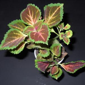 Coleus Blumei (Painted Nettle) - Live Plant