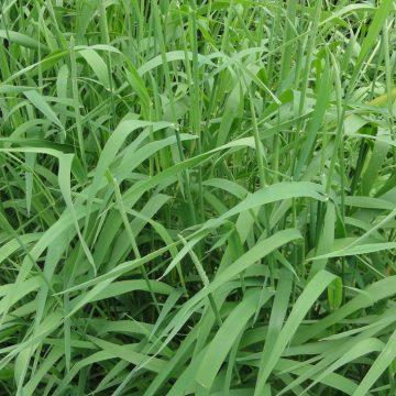 "Phalaris Arundinacea (Reed Canary Grass) ""Yugo Red"" -Live Plant"