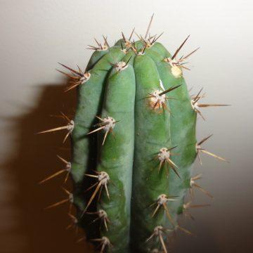 Trichocereus Macrogonus ?Ayacucho, Peru? (Big Mac Cactus) Seeds