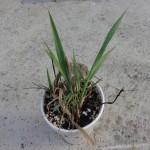 "Phalaris Arundinacea (Reed Canary Grass) ""Big Medicine"" - Live Plant"