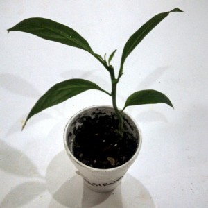 Cestrum Nocturnum (Night-Blooming Jasmine) - Live Plant