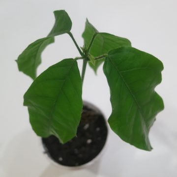 "Theobroma Cacao ""Trinitario"" (Large Round Fruit) - Live Plant"