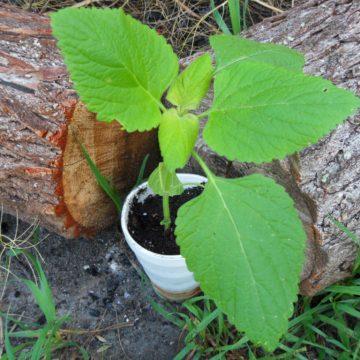 Leonotis Nepetifolia (Klip Dagga / Lion's Ear) - Live Plant