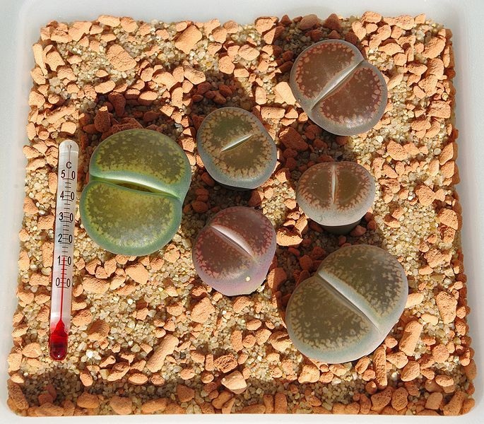 Lithops Aucampiae Seeds