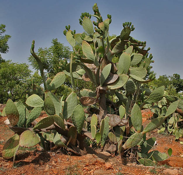 Prickly Pear Cactus Seeds World Seed Supply