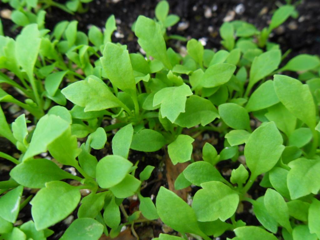 Papaver Somniferum (Dutch Poppy) Seeds