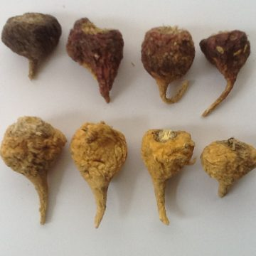 Lepedium Meyenii (Red Maca) Seeds