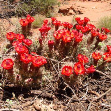Echinocereus Triglochidiatus (Crimson Hedgehog Cactus) Seeds