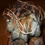 Astrophytum Capricorne (GOAT?S HORN CACTUS) Seeds