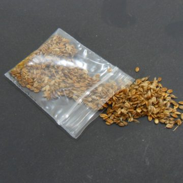 Heirochloe Odorata (Sweet Grass) Seeds