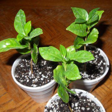 Coffea Arabica (Coffee)  - Live Plant Seedling