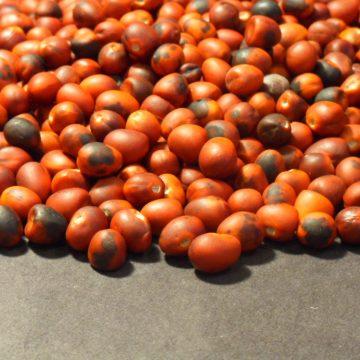 Sophora Secundiflora (Mescal Bean) Seeds