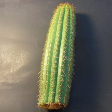 Trichocereus Spachianus (Gold Torch)  - Live Plant Cutting
