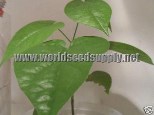 Rivea Corymbosa (Snake Plant) Seeds