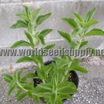 Stevia Rebaudiana (Sweet Leaf) Seeds