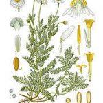 Anthemis Nobilis  (ROMAN CHAMOMILE) Seeds