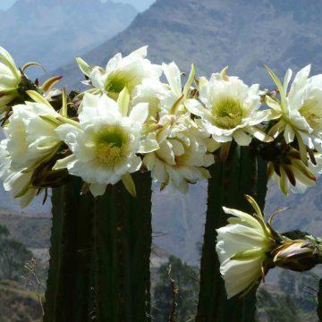 Trichocereus Peruvianus var Huancabamba (Peruvian Torch) Seeds