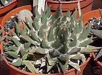 Ariocarpus Trigonus  (SEVEN STARS CACTUS) Seeds