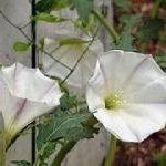 Datura Ceratocaula  (MOONFLOWER) Seeds