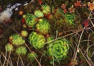 Sempervivum Mix (Hens & Chicks Succulent) Seeds