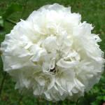 Papaver Paeoniflorum (White Cloud Poppy) Seeds