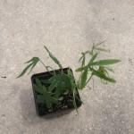 Passiflora Caerulea (Blue Passion Flower) - Live Plant