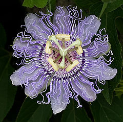 Passiflora incarnata seeds world seed supply passiflora incarnata purple passion flower seeds mightylinksfo