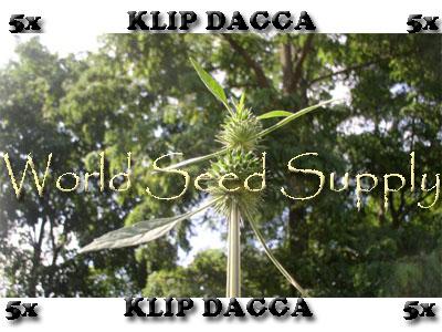 Leonotis Nepetifolia (Klip Dagga) 5X Enhanced Leaf