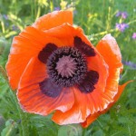 Papaver Orientale (Oriental Poppy) 10:1 Resin Extract