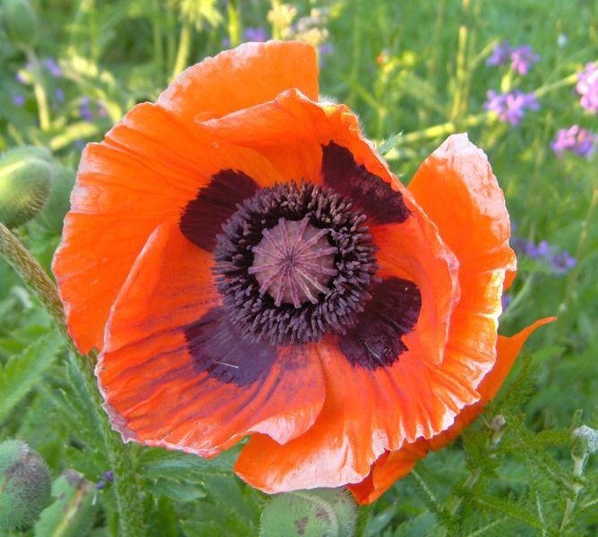 Papaver Orientale Oriental Poppy 10 1 Resin Extract