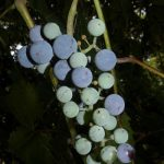 Vitis Riparia (River Bank Grape / Frost Grape) Seeds