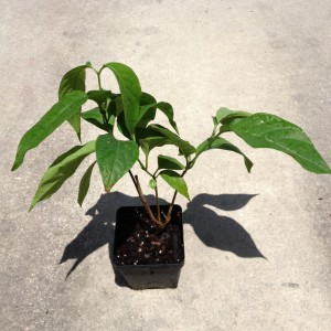 Banisteriopsis Spp. (White Caapi) - Live Plant